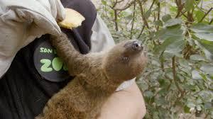 4 toed sloth sloth born at the san diego zoo has health zoonooz