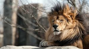 male lion wallpapers the lion king from franklin park zoo hd wallpapers 4k