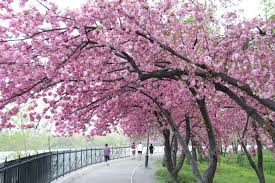 japanese cherry tree images wallpaper and