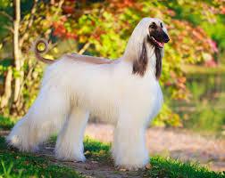 afghan hound breeders qld great dane australian dog lover