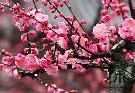 of china tree flowering plum armeniaca mume seeds 60pcs ornamental tree meihua
