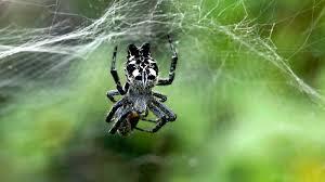 spiders npr