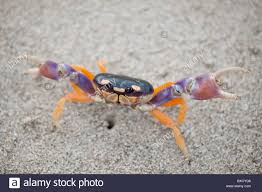 harlequin land crab stock photos u0026 harlequin land crab stock