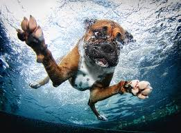 boxer dog 2015 diary underwater dogs in swimming pools slapped ham