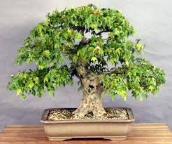 how to a bonsai plant bonsai tree bonsai tree growing bonsai