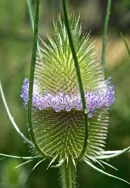 teasel dipsacus fullonum plants and animals of northeast colorado