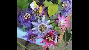 native plants passionflower vine grows 46 how to grow and care passiflora passion flower krishnkamal
