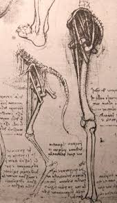 drawing of the comparative anatomy of the legs of a man and a dog