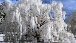weeping willow tree album on imgur