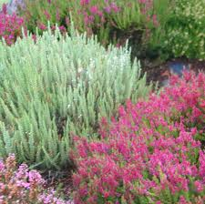 when to prune native plants how to prune heaths and heathers step by step and video