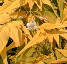 jasminum officinale fiona sunrise golden jasmine unusual