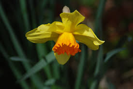 free images petal natural botany daffodil flora wildflower
