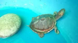 Ringed Map Turtle Indian Tent Turtle Pangshura Tentoria All Turtles