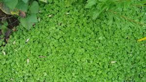 Plants For Pergola 10 best flowering vines for arches pergola arbor and trellis