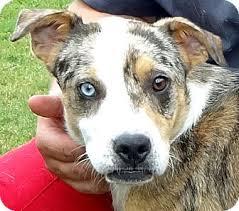 australian shepherd dalmatian mix sandi the blue eyed aussie mix adopted dog alabaster al