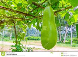 wax gourd on the tree thai garden stock photo image 43474168