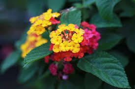 12 Best Annual Flowers For by 100 Lantanas Flowers Lantana Stock Photos And Pictures