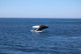 travel diary pt 1 whale watching in cape cod this season u0027s gold