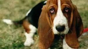 wszystko o bichon frise rasy psów part 1 youtube