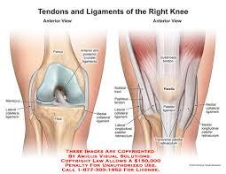 Knee Anatomy Pics Ligaments U2013 Anatomy Exhibits
