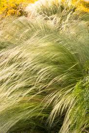 mexican feather grass monrovia mexican feather grass