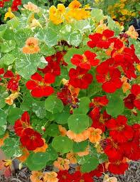 nasturtium flower nasturtium variegated seeds greenmylife anyone can garden