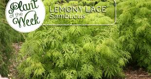 through the greenhouse glass plant of the week lemony lace