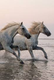 camargue white horse wallpapers 136 best camargue horses of france images on pinterest horses