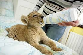 lions for sale the barbary lion cub and pet photos of dogs