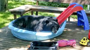 bear takes a break in duluth family u0027s kiddie pool