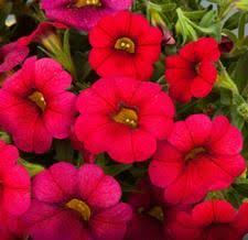 27 best calipetite images on petunias garden and