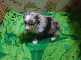 australian shepherd eyebrows the fantastic 4 australian shepherd puppies born 2015 may 19