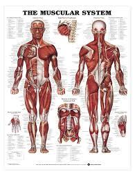 Anatomy Human Abdomen Thorax Human Anatomy Image Collections Learn Human Anatomy Image
