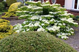 White Flowering Shrub - shrubs and bushes identification