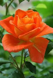 Flower Rose 302 Best Orange Roses Images On Pinterest Flowers Orange Roses