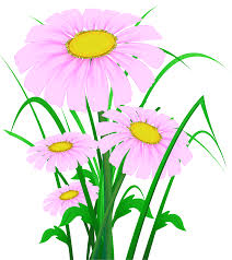 transparent pink daisies png clipart gallery yopriceville