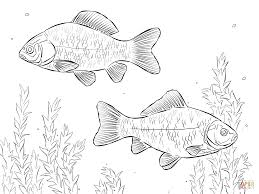 common carps coloring page free printable coloring pages
