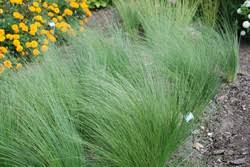 stipa lessingiana ornamental grasses resources turf grass
