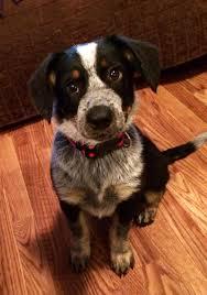 adopt baby keller on australian cattle dog cattle and pet adoption