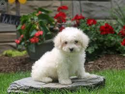 pomeranian x bichon frise sale bichon frise puppies for sale greenfield puppies