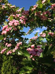 Types Of Garden Flowers - toba hawthorn this type of hawthorn has no thorns beautiful
