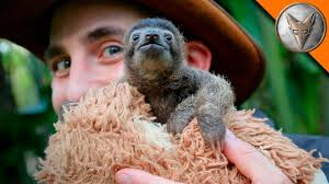 baby sloth the cutest encounter ever with cute baby sloth