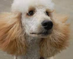 poodles long hair in winter poodle hair problems and coat care