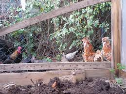 hen teaches quail to forage and how we free range them