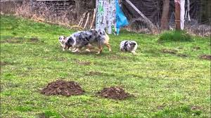 australian shepherd puppies 500 australian shepherd puppies 9 weeks old youtube
