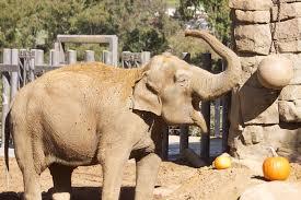santa barbara zoo celebrates thanksgiving with annual pumpkin