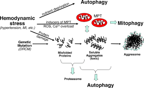 autophagy in load induced heart disease circulation research