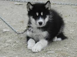 husky puppies for sale jpg 1600 1200 wolves wolf