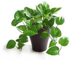 Vine House Plants Interior Interesting Pothos Plant With Elegant Pot For Your