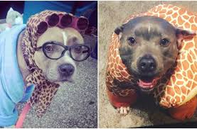 in costumes these 24 pit bulls in costumes are totally ready for howlaween